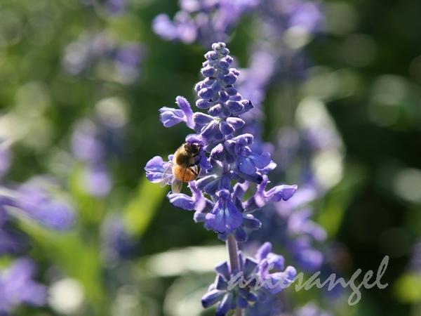 蜜蜂跟鼠尾草.jpg