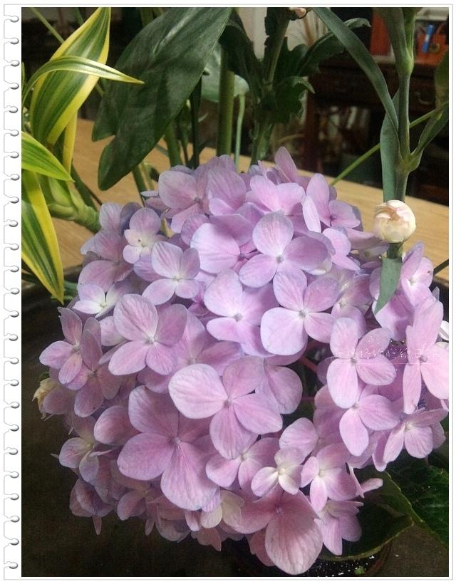 紫楊花.jpg