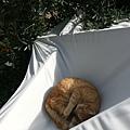 發現一隻在屋頂睡午覺的貓.jpg