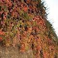 秋天從牆上爬下來了.jpg