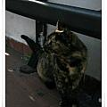 一隻雜色貓.jpg