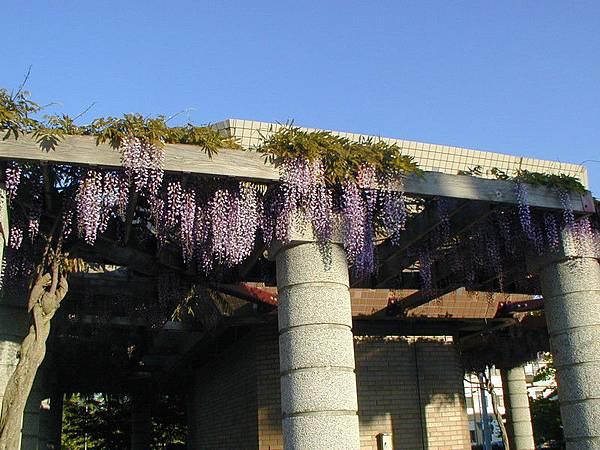 一串串紫色的紫藤花