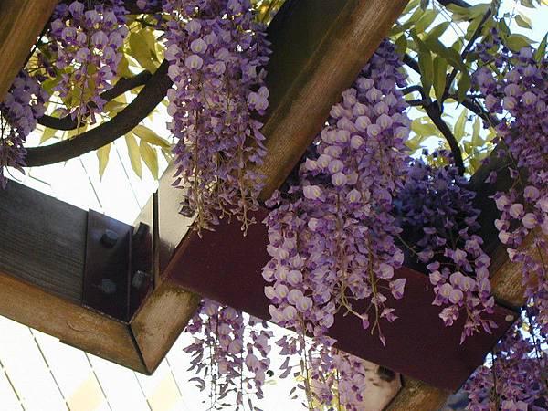 紫藤花近拍