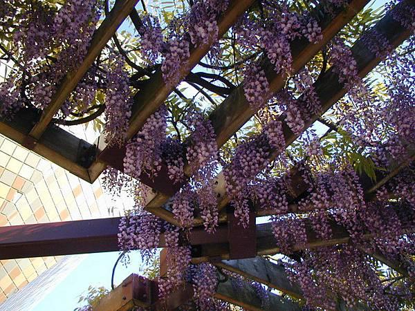紫藤花近拍2