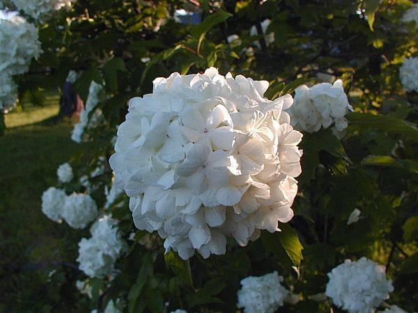 白色繡球花