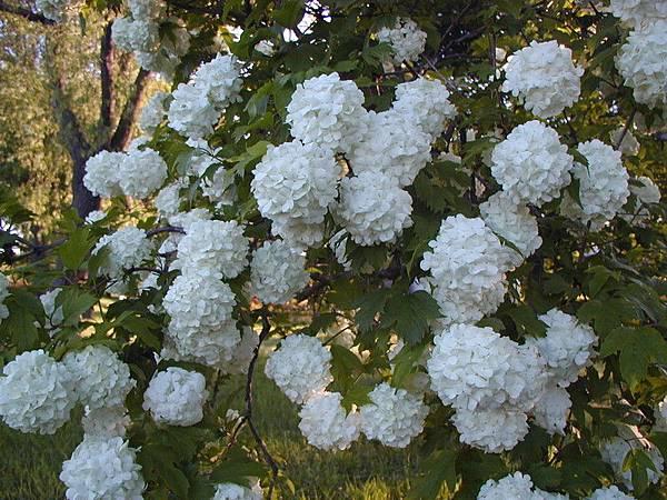 白色繡球花2