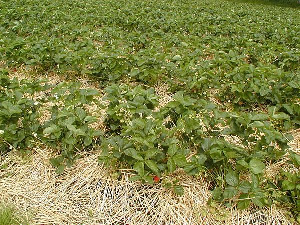 好多草莓啊~~~~~~~~~