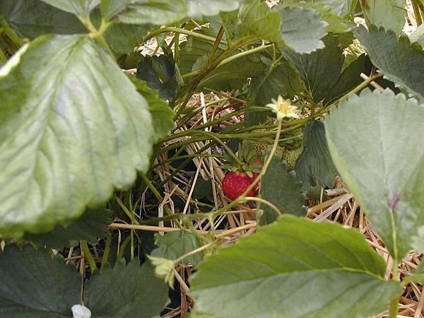 被我發現啦~藏在裡面的草莓