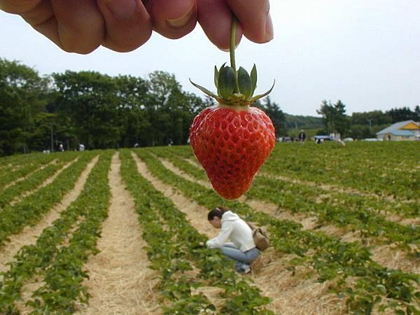 垂涎欲滴的草莓