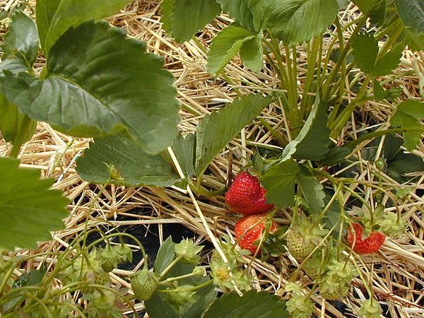 結實壘壘的草莓