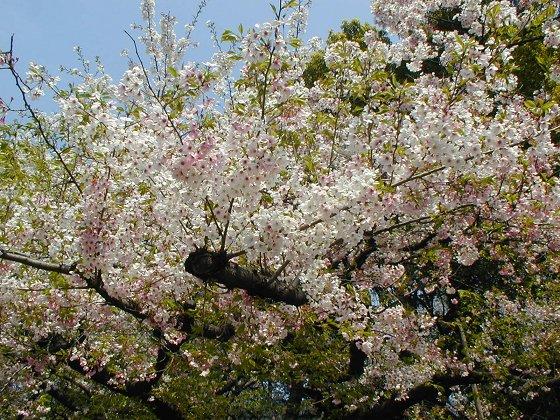 盛開的櫻花樹2