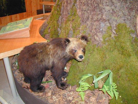小棕熊標本