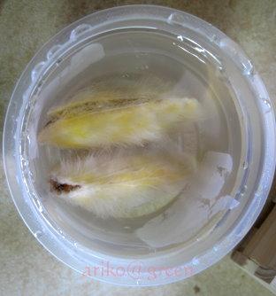 膨脹中的土芒果莢