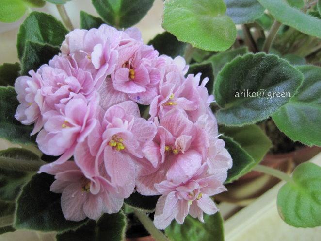 花瓣帶紫點