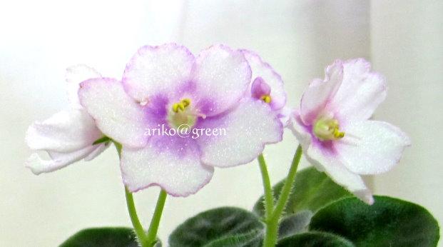 晶亮的花瓣