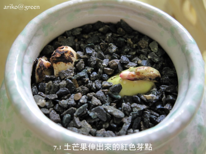7.1土芒果快要發芽了