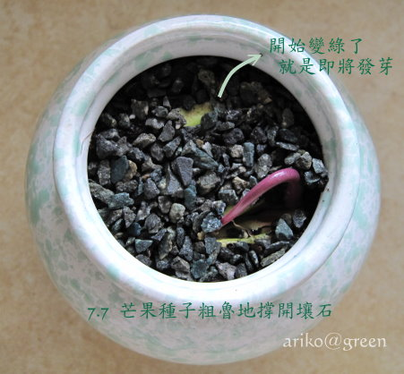 7.7芒果種子盆栽