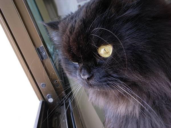 貓咪看外面