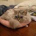 這個粉紅墊是灰皮第一次躺~~
