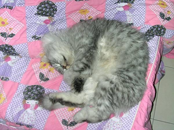 灰皮睡捲捲