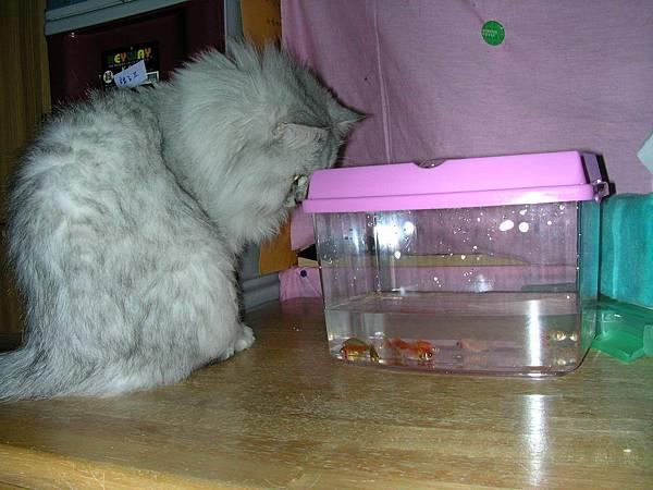 妹對金魚很有興趣