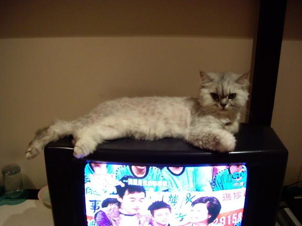 妹很愛用尾巴擋我們看電視