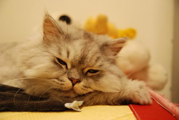 灰皮很愛壓手睡