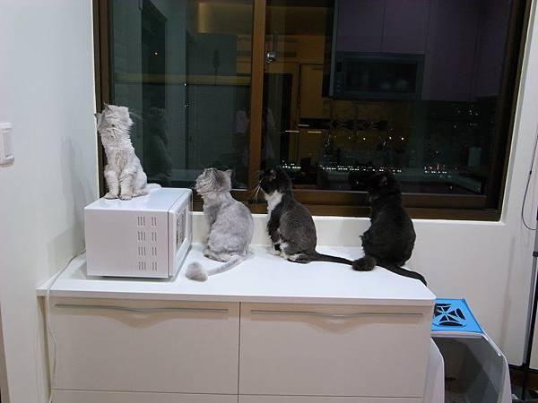 四隻貓好認真