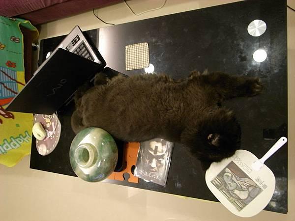 黑皮也很愛躺桌上~