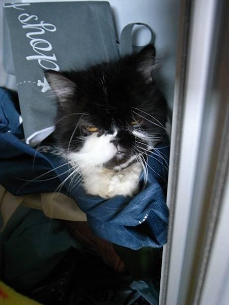 躲在鞋櫃的貓