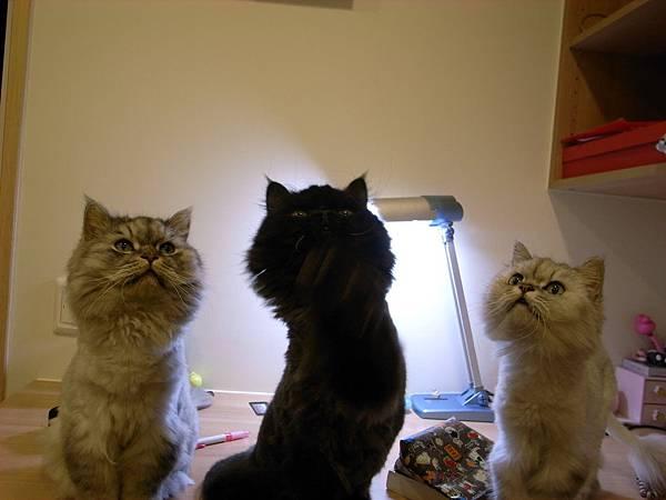 三隻貓都好認真的看~