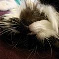 卡拉睡到翻過來..好可愛~