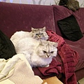 看這兩隻躺這是怎樣~有沒有感情那麼好~