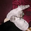 看這兩隻灰貓..很好笑~