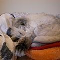 睡到遮臉的灰皮~~