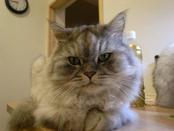 灰皮還是可愛的伴讀貓呀~