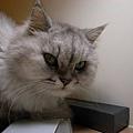 卡妞是一直吵著吃的貓~