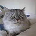 灰皮愛睡的笨貓臉~
