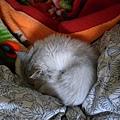 這是躲在棉被堆中的卡妞~