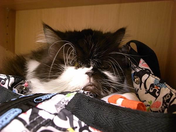 卡拉在我包包上睡著