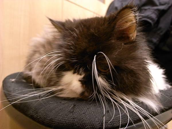 卡拉在電腦椅上睡~