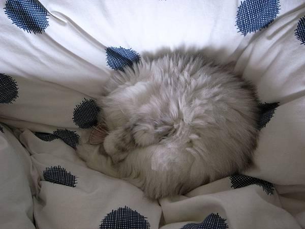 卡妞很愛在棉被上遮眼睡~