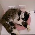 在粉紅墊上睡翻的卡妞...