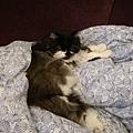 卡拉躺在我在客廳取暖的被子上...