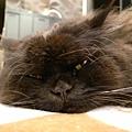 黑皮則喜歡這樣把頭壓低低的睡~