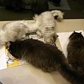 四隻貓好開心~