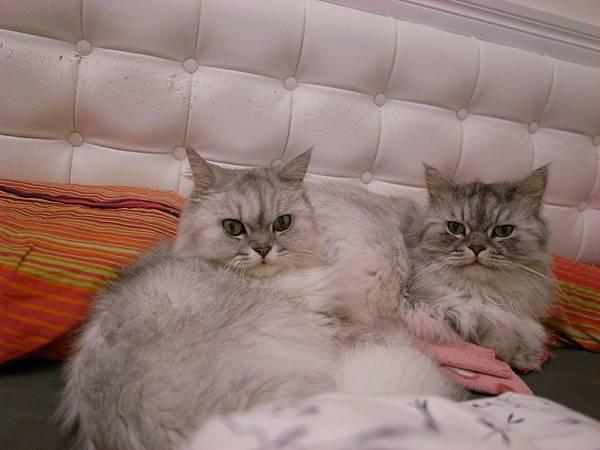 灰皮很難得跟我躺床上..卡妞也要來一角