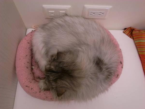 灰皮去粉紅墊睡覺~