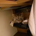躲在椅子下面的灰皮~他常常睡整天~