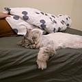 最近他很愛進來床上睡~